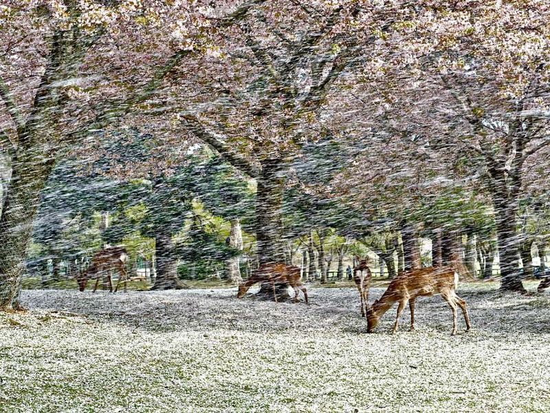 Deer-blossoms-japan_53918_990x742